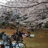 桜満開の山崎公園