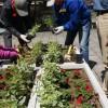ふれあい広場に赤いサフィニア花壇完成