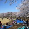 桜満開!お花見日和