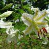 山崎公園でヤマユリが開花