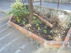 ハーブ花壇にもパンジーを補植