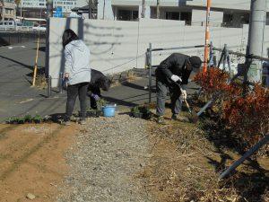 2/4 ご近所の方から寄贈された曼殊沙華をノースポールと一緒に植えました