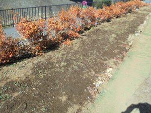2/4 都市大都市緑化研究会の発芽が待たれるネモフィラ緑化ガーデン