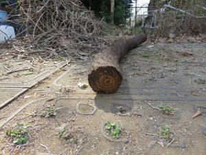 つるの直径が10センチもあり、木のように成長した物もあり、驚きました