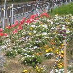 早渕川・老馬谷ガーデン: 園路を歩くのが楽しい!!春の花がたくさん咲いています!
