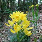 野草キンラン、ギンランが咲く山崎公園は地域の宝