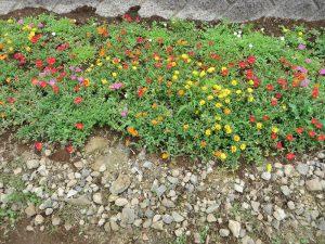 学生が種から育てたポーチェラカが咲いています