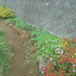 早渕川・老馬谷ガーデン(HRG)コスモスやポーチェラカが美しく見頃を迎えています