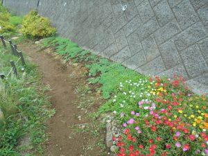 きれいに咲くポーチェラカとセダム