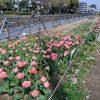 早渕川・老馬谷ガーデンでは1300本のチューリップと菜の花が満開