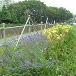 早渕川・老馬谷ガーデンは初夏の花でいっぱい