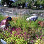 早渕川・老馬谷ガーデン 月2回の地域整備で、秋の花がきれいです