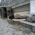 冬場のラベンダー剪定作業