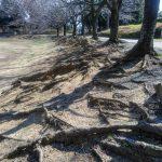 山崎公園 根の露出した桜並木の改善工事説明
