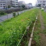 早渕川・老馬谷ガーデンの 草取り、ラベンダーの刈り取り