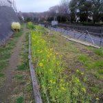 早渕川・老馬谷ガーデンでは菜の花が満開