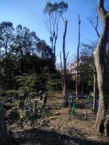 1.高木に上って枝落とし作業風景