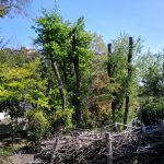 緑の日 山崎公園 高木を台切りし、樹林の保全