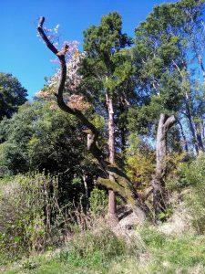 6.昨年に救命処置されたシンボル山桜は復活へ